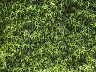 Textura de enamorada del muro. Planta trepadora.