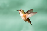 Rufous Hummingbird in Flight, Female Kanvas Tablo