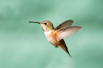Rufous Hummingbird in Flight, Female