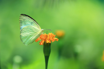 Yellow Butterfly on the flower