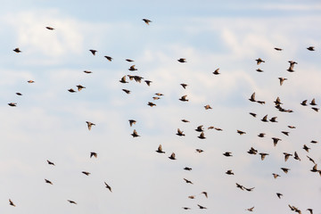 Flock of starlings flying
