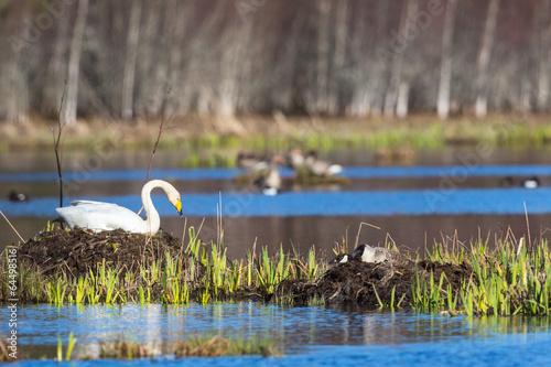 Foto op Plexiglas Zwaan Whooper Swan
