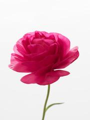 薔薇のようなラナンキュラス