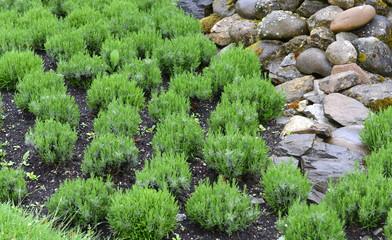 plantes aromaziques