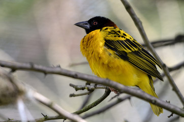 Male Village Weaver (Ploceus cucullatus)