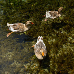 wild-gooses swimming in the pond in trasparent water, wild natur