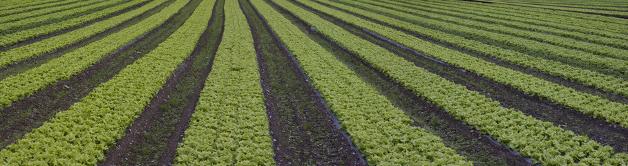 Salad greens at the farm.