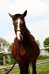 Braunes Pferd auf Reiterhof