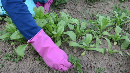 farmer hands in rubber gloves grub up weeds marigold plants