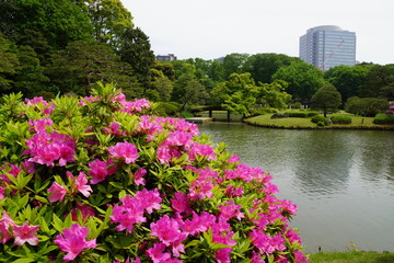 六義園 つつじの花