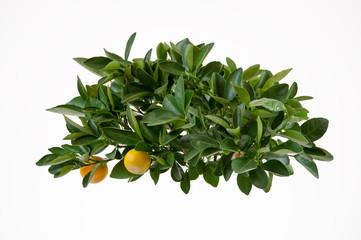 Lemon tree-top