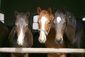 Nice thoroughbred horses in the stable. Youngsters in the barn