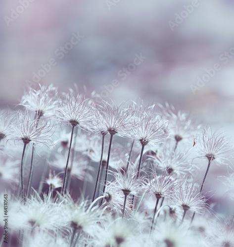 Pasque Flowers © B. and E. Dudziński