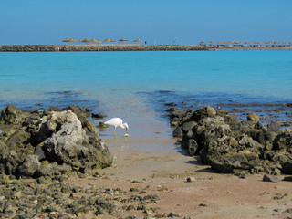 Heron with fish in its beak on the Red Sea Coast in Egypt