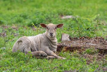 agneau gris