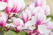 pink flower magnolia - 64511922