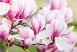 Fototapeta pink flower magnolia