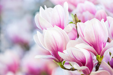 magnolia à fleurs roses