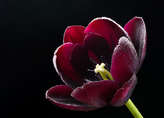 Wet purple-black tulip.