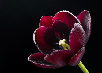 Wet purple-black tulip.