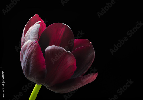 Deurstickers Tulp Purple black tulip.