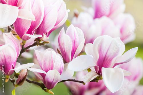 Fotobehang Magnolia pink flower magnolia