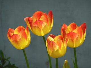 Orangefarbene Tulpen vor grauer Mauer