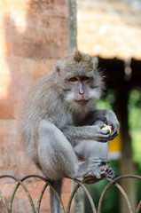 funny monkey sitting on a fence and eats