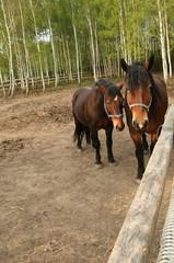 konie na padoku