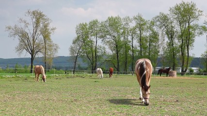 Beautiful horses on the spring pasture on the ranch