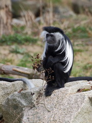 One angola colobus sit on the rock