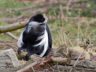 One angola colobus sit on the branch
