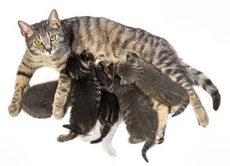cat family - cat and her kittens