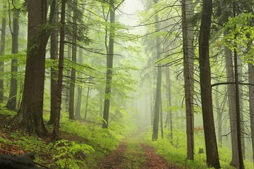 Trail through the foggy spring forest