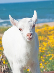 little white  goat baby