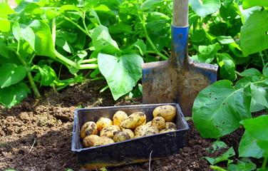 culture de légumes de printemps au potager