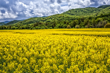 Rapeseed flower in Bulgaria