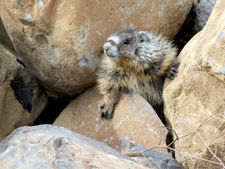 Yellow-bellied Marmot Squeezing through Boulders