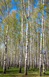 Evening sunny birch grove in first spring greens on blue sky