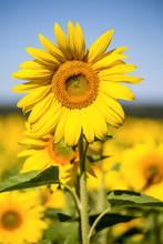 Champ de tournesol jaune sur ciel bleu en Ukraine