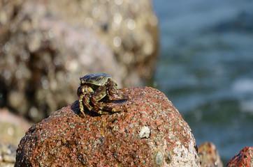 Каменный краб на камне на берегу Аравийского моря