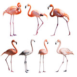 Set of Flamingoes. Isolated over white
