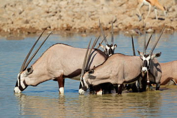 Gemsbok antelopes drinking, Etosha National Park