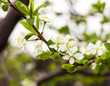 Twig flowering tree closeup 2