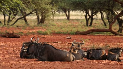 Blue wildebeest resting on the ground