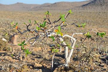 Остров Сокотра, дерево цебры