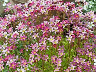 Moossteinbrech - Saxifraga bryoides