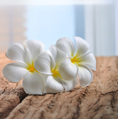 white plumeria flowers on wood