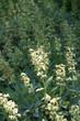 Salvia Fina SalviaLavandulifolia