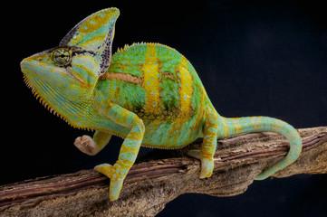 Veiled chameleon / Chamaeleo calyptratus